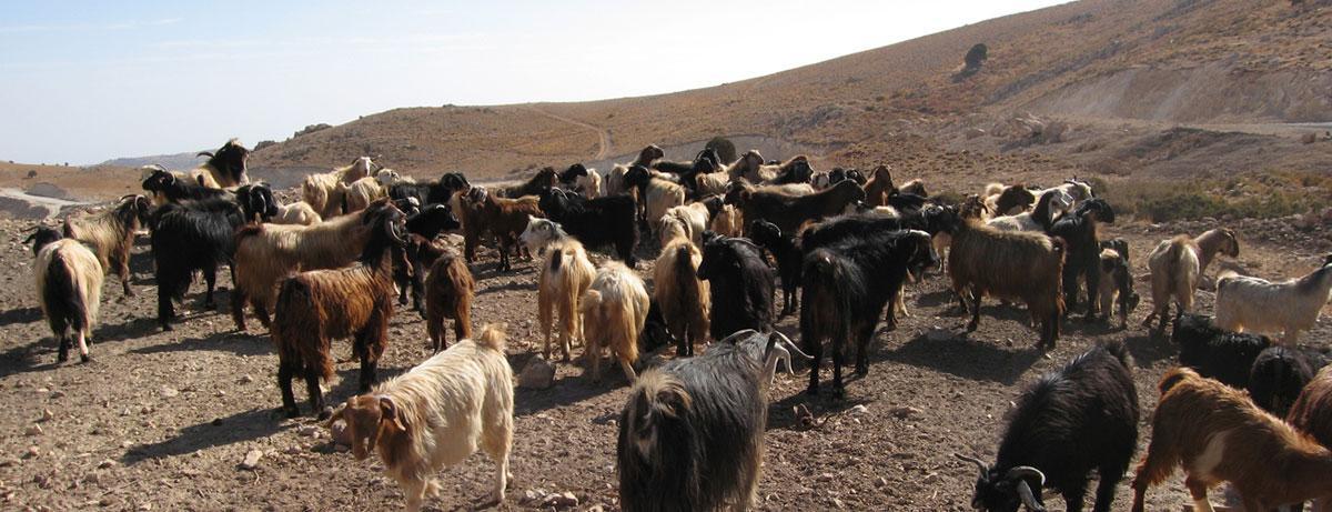 Herd of local goats in jouroud Hermel