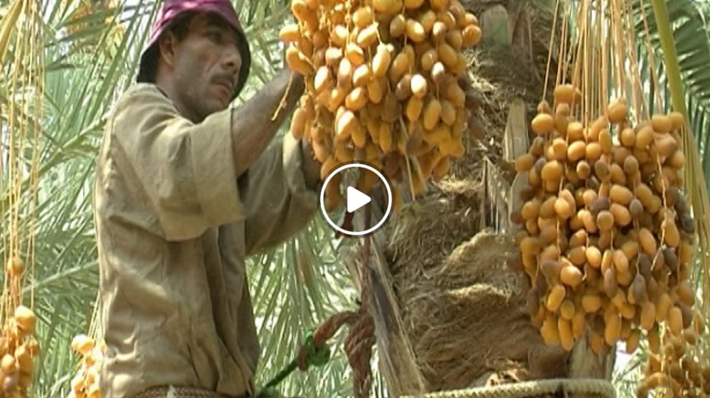 Making pressed dates - Access Agriculture