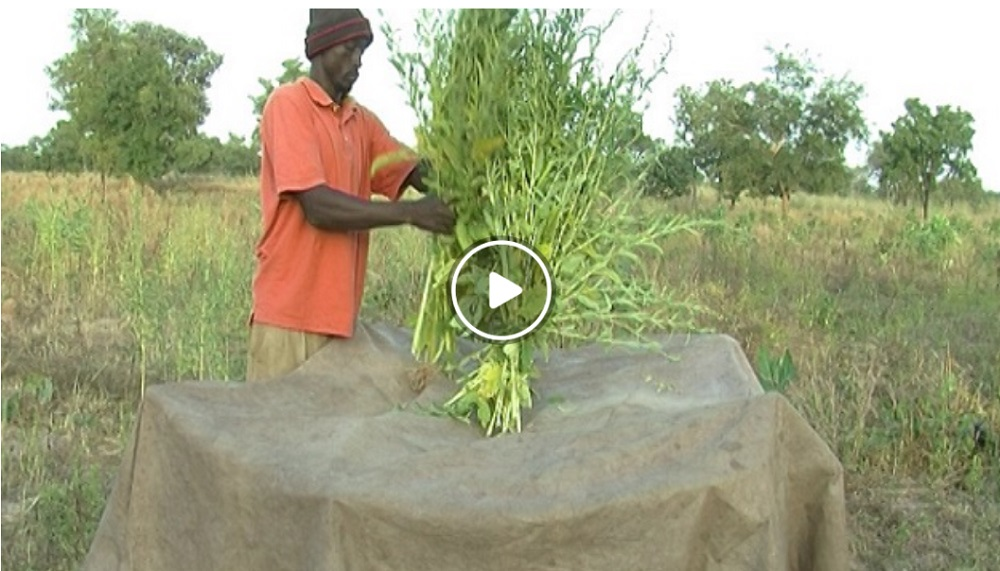 Harvesting and storing sesame – Access Agriculture